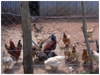Hühnerzucht