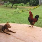 Hund und Hahn schauen sich an